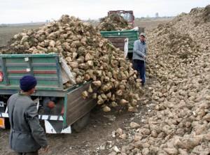 Cultivatorii de sfeclă de zahăr, salvați de fabrica din Bod