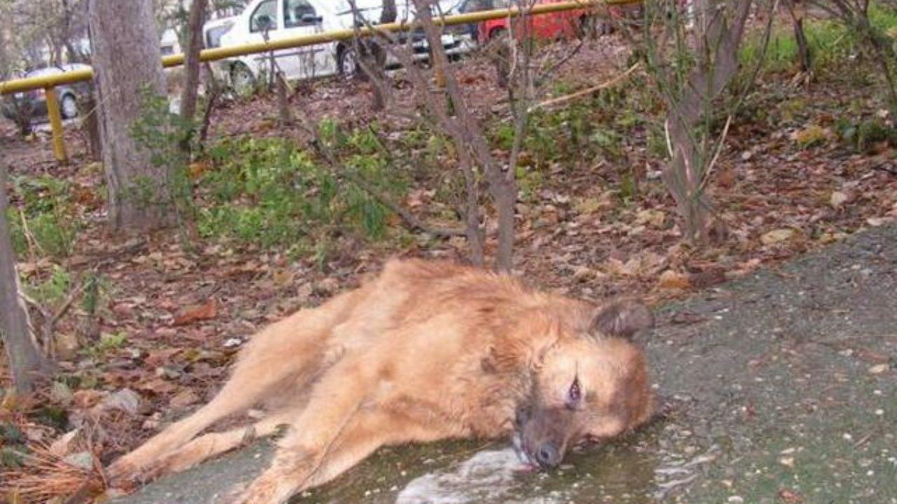 В Бельцах неизвестные травят бездомных собак