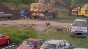 O haită de câini terorizează locuitorii de pe Hărmanului