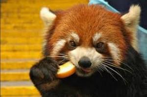 Urși panda și păsări răpitoare, posibile achiziții la Zoo Brașov