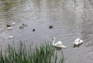 Lebede albe și negre și nuferi, pe lacul de la Zoo