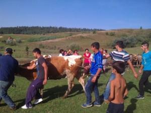 Racoş: Cadou de sărbători – zece vaci pentru familiile de romi