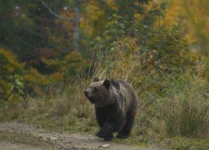 Un urs a distrus stupi, a omorât animale și a distrus grădinile localnicilor din comuna Hârseni