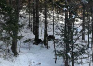 VIDEO Doi urşi, goniţi de pe pârtie la Predeal cu petarde