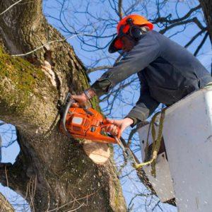 Arborii periculoși din Brașov și Poiana Brașov vor fi tăiați