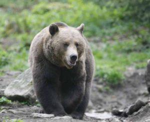 Cioban atacat de urs la Bunești