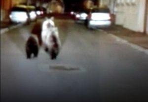 VIDEO Ursoaică cu pui, la plimbare în centrul Făgărașului