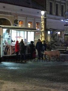 Un porc, vedetă la Râșnov. A admirat bradul de Crăciun și a mers la Primărie (Foto)