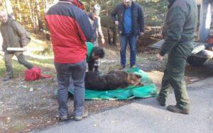 VIDEO Ursoaica lovită de o mașină la Dâmbu Morii are fractură de femur