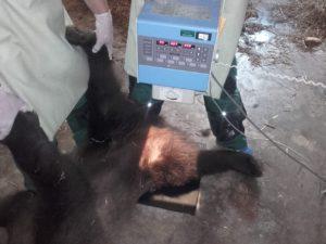 Foto- Ursoaica lovită de o maşină pe DN1 va fi operată