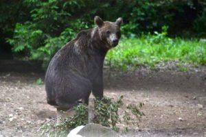Un urs a intrat, aseară, într-o curte din Predeal