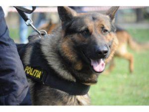 VIDEO Câinii polițiști, scoși la patrulat pe străzile Brașovului
