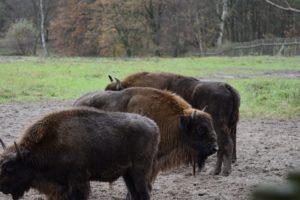 Munţii Făgăraş vor fi repopulaţi cu zimbri. 30 de exemplare vor ajunge în sălbăticie