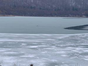 VIDEO+FOTO Pompierii intervin, acum, pentru salvarea unui cerb căzut în lac