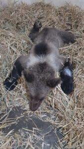 Puiul de urs lovit de mașină pe drumul dintre Râșnov și Pârâul Rece, a murit