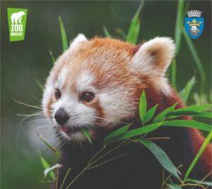 Ziua Internațională Panda Roșu va fi marcată la Grădina Zoologică din Brașov