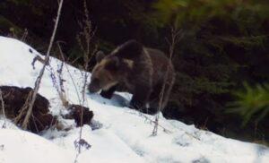 Imagini amuzante cu un pui de urs care a găsit o cameră de monitorizare în Parcul Piatra Craiului