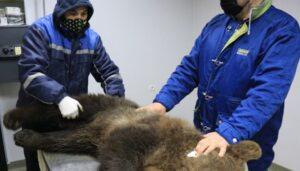 Încă un urs cu o poveste dramatică a ajuns în Sanctuarul Libearty Zărnești!
