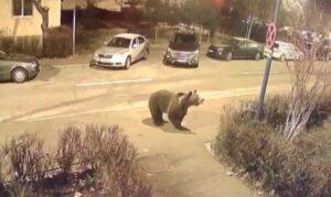 VIDEO Ce măsuri va lua Primăria Braşov pentru a limita accesul urşilor în cartierele braşovene?