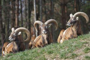 Mufloni la Rezervaţia de Zimbri, din Vama Buzăului
