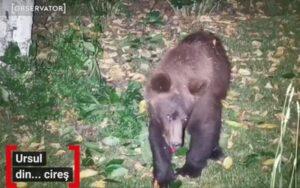 Proiectul de OUG privind intervenția în cazul atacurilor urșilor, adoptat în următoarea ședință de Guvern