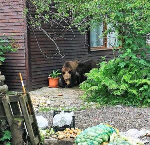 FOTO&VIDEO Doi urşi care au intrat în curtea unei pensiuni din Săcele şi nu au putut fi alungaţi, tranchilizaţi şi duşi în pădure